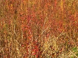 Autumn Grasses.web