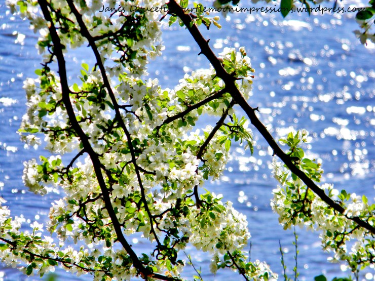 Blossoms On The Lake.wm