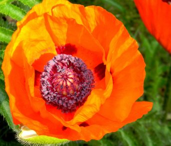 Another Poppy small