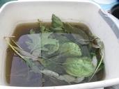 Leaves soaking in rusty iron water