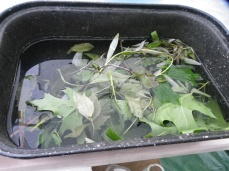 Leaves soaking in vinegar water