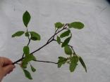 Rhamnus cathartica, European Buckthorn