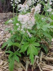 foamflower-tiarella-cordifolia-saxifrage