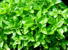 Basil. Will harvest some today for pesto.