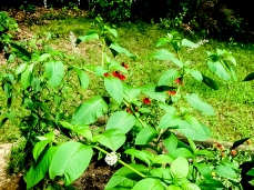 Pokeweed and red rudbeckia,