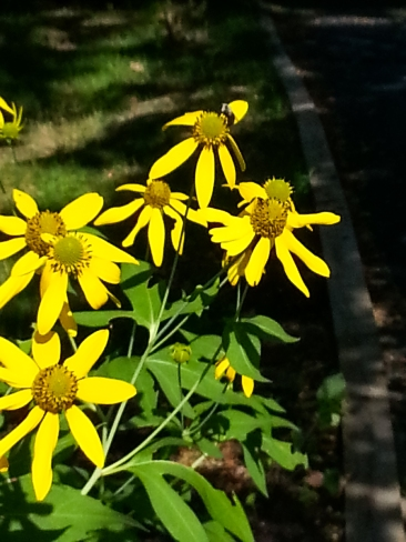 There's a pollinator on these rudbeckia.
