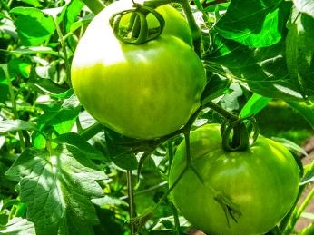 Abundant tomato growth.