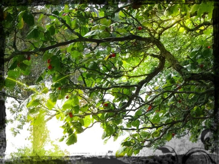 Pear Tree2.D.