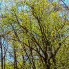 Spring Trees Blossoming