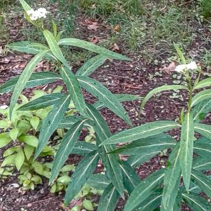 White milkweed grew quite tall this year.