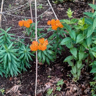 Butterfly Weed bloomed beautifully this year.